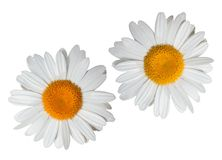 An isolated chamomile flower stock photo
