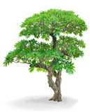 Isolated Champa tree Stock Images