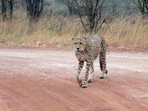 Isolated Cheetah Walking In The African Savanna Stock Photo