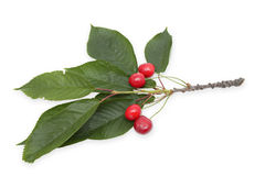 Isolated cherries with leaves. Isolated beautiful cherries with leaves Royalty Free Stock Photography
