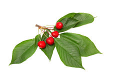 Isolated cherries with leaves. Isolated beautiful cherries with leaves Stock Image