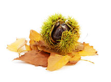 Isolated chestnut. Isolated on white chestnut and golden leaves stock images
