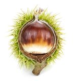 Isolated chestnut stock photography