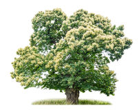 Isolated chestnut tree Royalty Free Stock Photography
