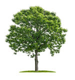 Isolated chestnut tree on a white background Stock Photos