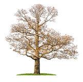 An isolated chestnut tree in the winter Royalty Free Stock Photography