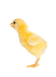 Isolated chick Stock Photo