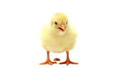 Isolated Chick after defecation Royalty Free Stock Photography