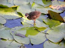 An isolated chick among water lily leaves Royalty Free Stock Image