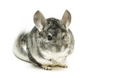 Isolated chinchilla Royalty Free Stock Photo