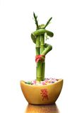 Lucky bamboo. Isolated chinese lucky bamboo plant Stock Photo