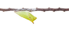 Isolated chrysalis of tailed jay butterfly with twig on white Royalty Free Stock Image