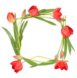 Isolated circle frame from tulip flowers. On white background stock images