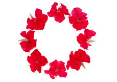 Isolated circle of red petunia. On a white background royalty free stock image