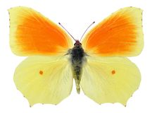 Isolated cleopatra butterfly Stock Photos