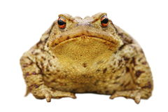 Isolated close up of common toad Royalty Free Stock Photo