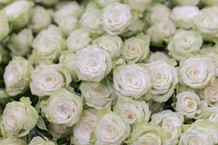 Free Isolated Close-up Of A Huge Bouquet Of White Roses. Many White Roses As A Floral Background Royalty Free Stock Photo - 155554665
