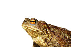 Isolated closeup of brown common toad Stock Image