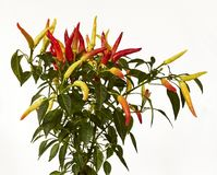Isolated closeup of chili plant, spicy red and yellow Royalty Free Stock Photography
