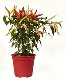 Isolated closeup of chili plant, spicy red and yellow Stock Photo