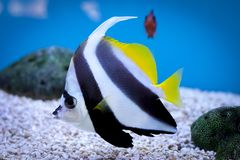 Isolated closeup of fish in Aquarium. Giving a sense of color and beautiful nature Stock Image