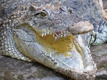 Isolated Closeup Picture of Alligator Crocodile Jaw Open Mouth. Isolated Closeup Picture of Alligator Crocodile With Jaw Open Mouth royalty free stock image