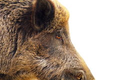 Isolated closeup of a wild hog Royalty Free Stock Image
