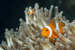 An isolated clown fish looking at you in Cebu Philippines. In the black background Royalty Free Stock Photos