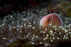 An isolated clown fish looking at you in Cebu Philippines Royalty Free Stock Photos