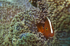 Isolated clown fish portrait while looking at you. Into anemone house stock photography
