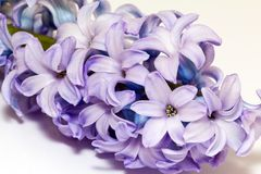 Isolated cluster of flower violet  hyacinth on white background Royalty Free Stock Photos