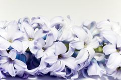 Isolated cluster of flower violet  lilac on white background Royalty Free Stock Images