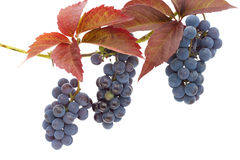 Isolated clusters of red grapes Royalty Free Stock Photography