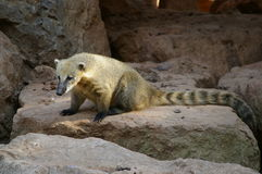 Isolated coati, bear species Royalty Free Stock Photography