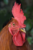 Isolated cock portrait Stock Photo