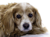 Isolated Cockapoo. An elderly cockapoo dog is isolated against a white background Stock Image