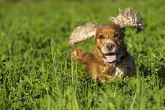 Isolated cocker spaniel running to you in grass background. Isolated cocker spaniel running to you on green grass background royalty free stock photography