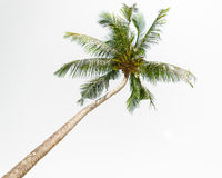 Isolated coconut palm tree on white background Stock Photography