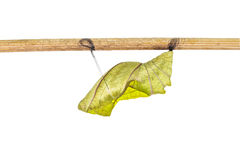 Isolated cocoon of common birdwing butterfly on white Royalty Free Stock Images