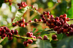 Coffee plantations Stock Images