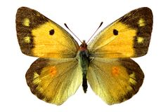 Isolated Colias butterfly Stock Photos