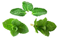 Isolated collection fresh mint. Isolated collection of fresh peppermint royalty free stock image