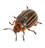 Isolated colorado potato beetle Stock Image