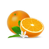 Isolated colored group of orange, half and whole juicy fruit with white flower, green leaf and shadow on white background. Realist royalty free illustration