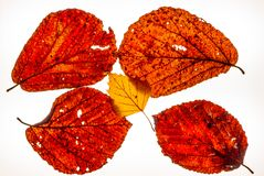 Isolated colorful autumn leafes on a lightbox - 5. Isolated colorful autumn leafes on a lightbox Stock Photography