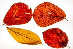 Isolated colorful autumn leafes on a lightbox - 3. Isolated colorful autumn leafes on a lightbox Stock Image