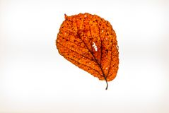 Isolated colorful autumn leafes on a lightbox. 10 Royalty Free Stock Photography