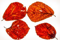 Isolated colorful autumn leafes on a lightbox - 4. Isolated colorful autumn leafes on a lightbox Royalty Free Stock Images