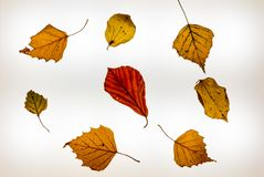 Isolated colorful autumn leafes on a lightbox - 2. Isolated colorful autumn leafes on a lightbox Stock Images