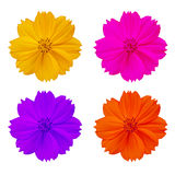 Isolated colorful cosmos flower Royalty Free Stock Photography